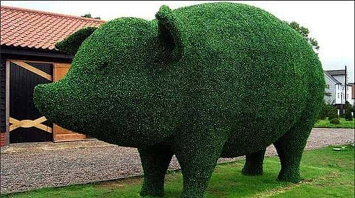 pig hedge