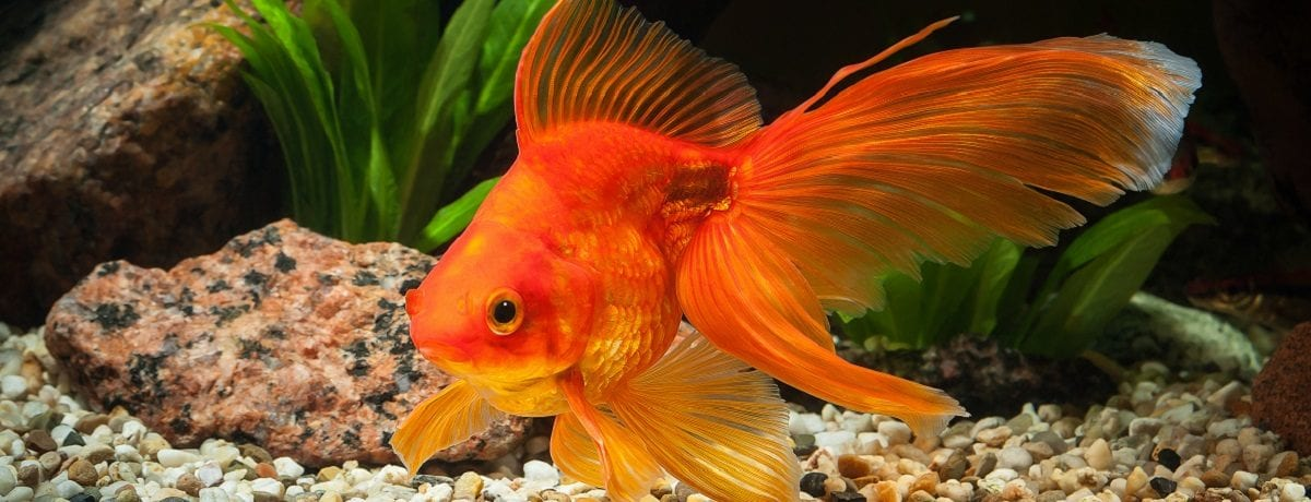 The golden rules of gold fish care