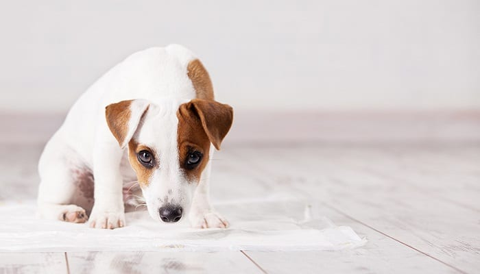 Puppy toilet training