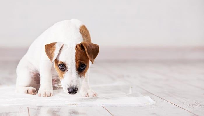 Puppy toilet training