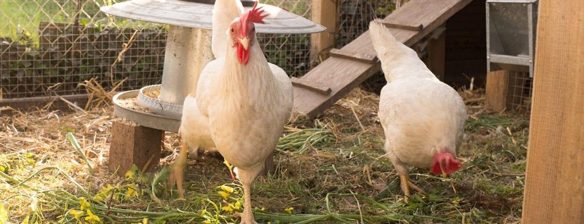 How to fox proof your chicken coop