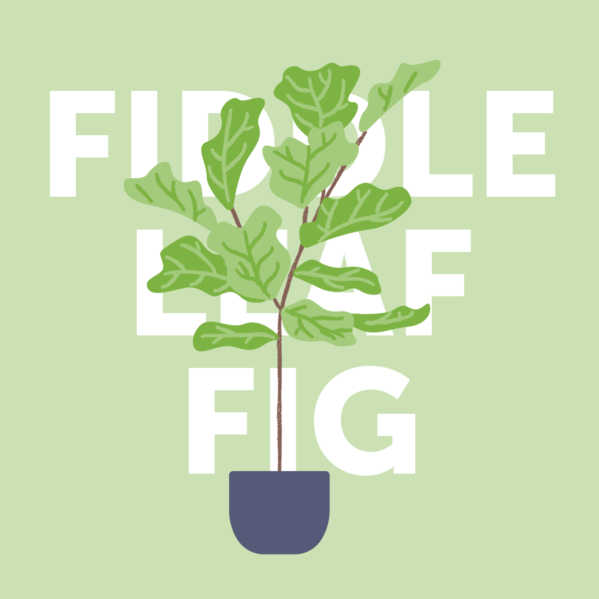 Fiddle leaf fig indoor plant
