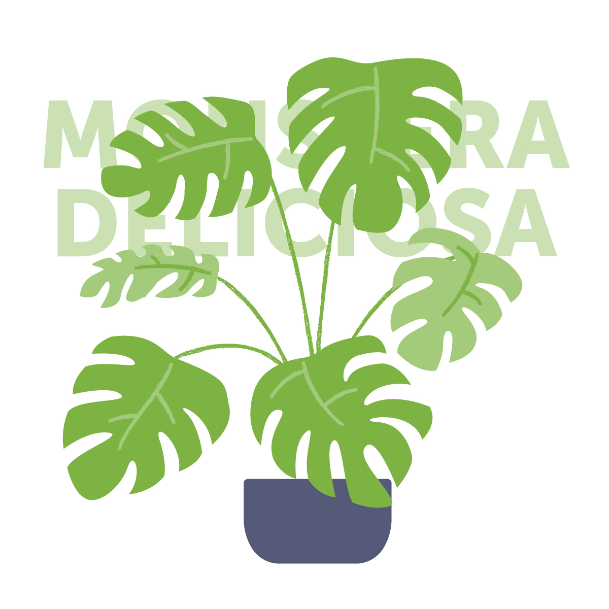 Monstera deliciosa indoor plant