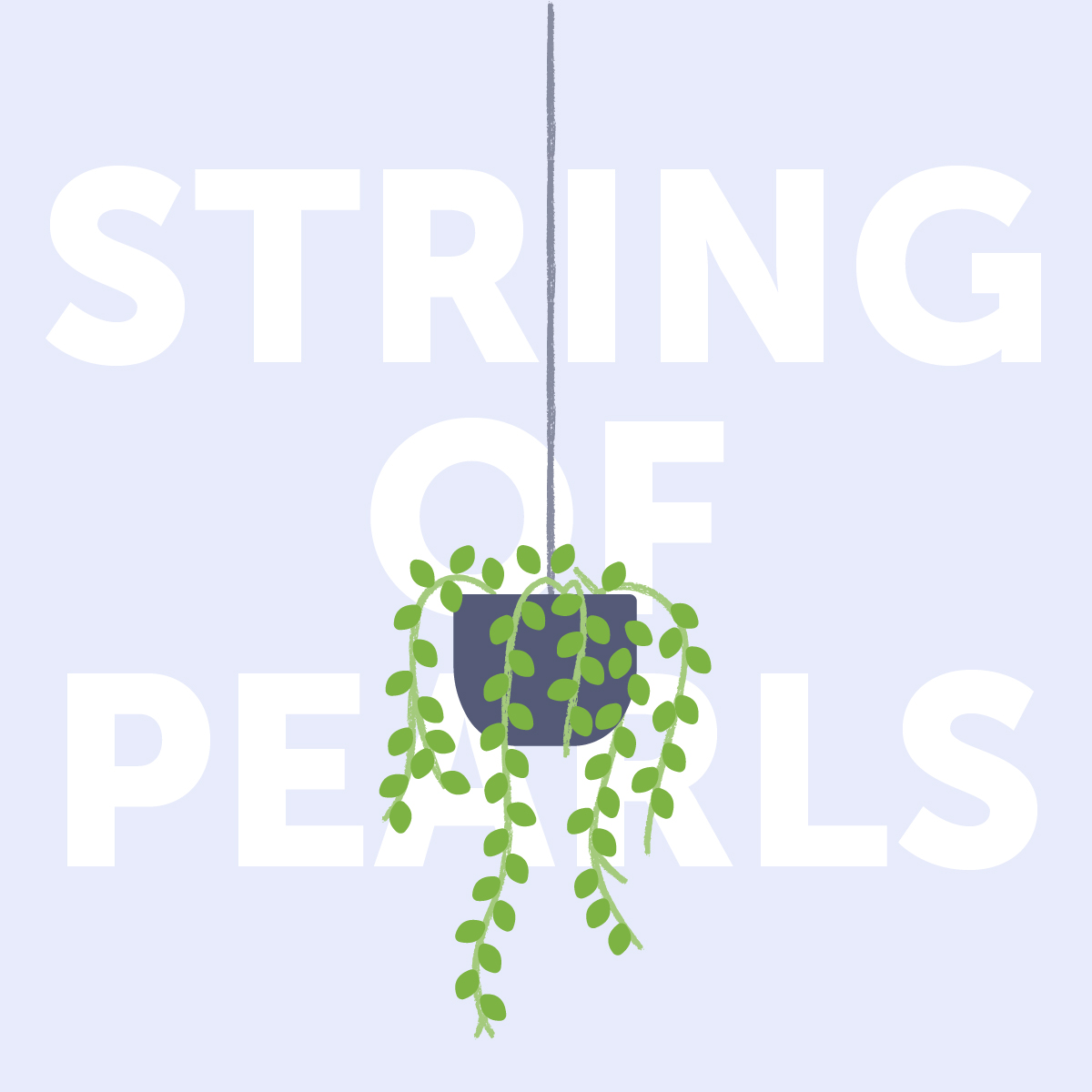 String of pearls indoor plant