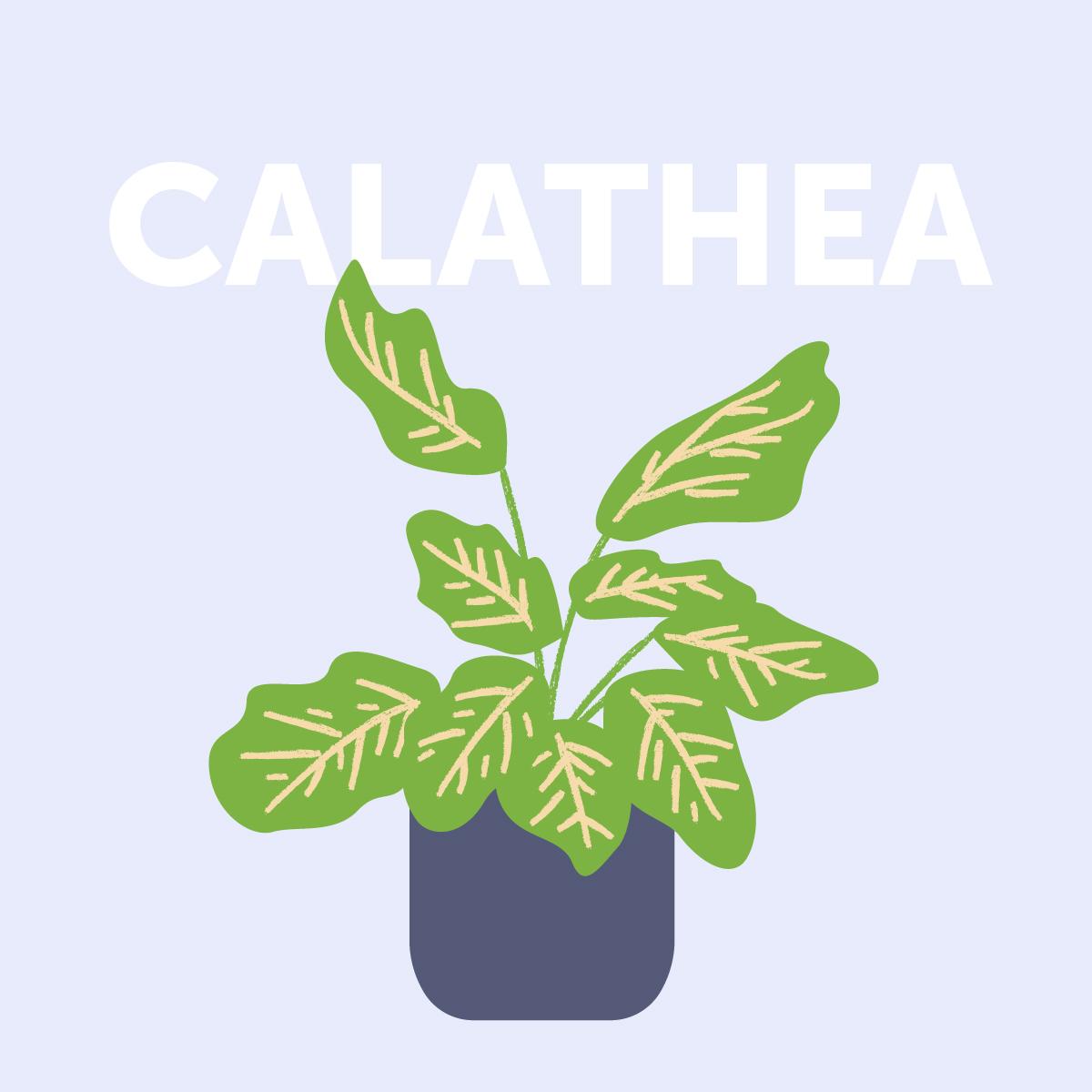 Calathea indoor plant | Airtasker Life Skills