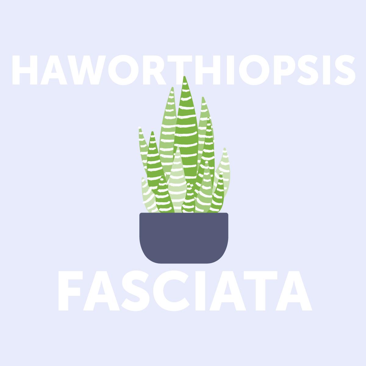 Haworthiopsis fasciata indoor plant | Airtasker Life Skills