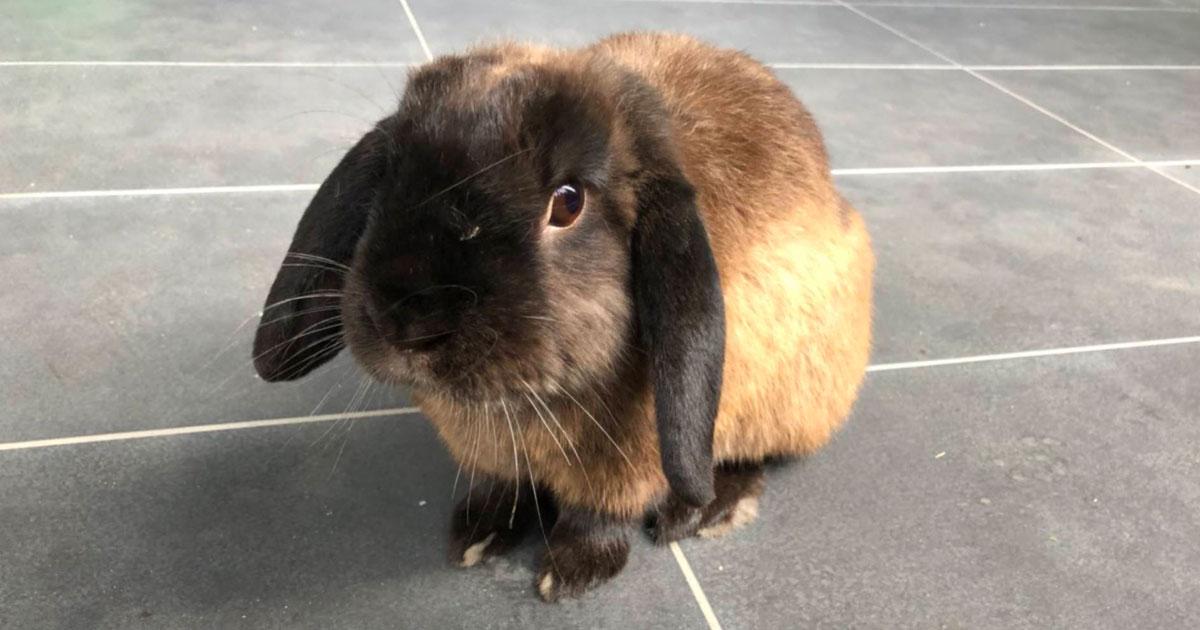 Long eared brown rabbit