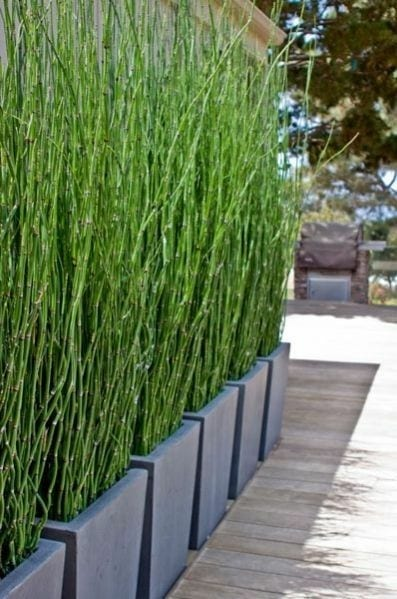 plants as privacy fence