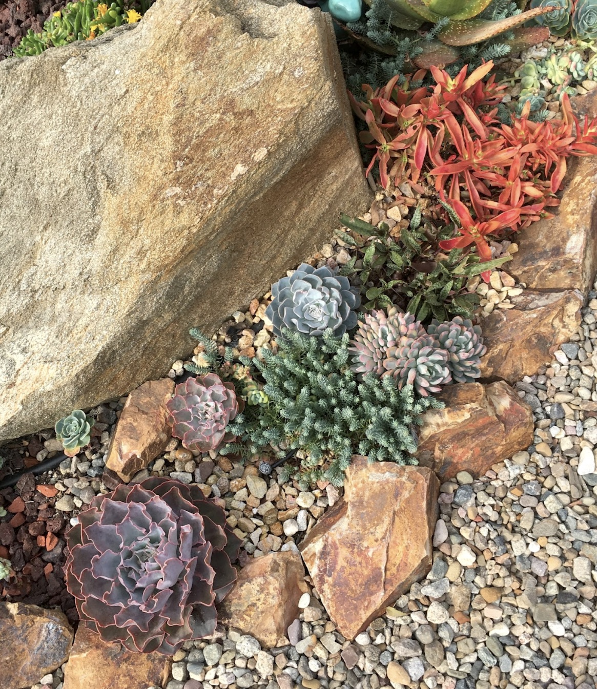 Succulent cacti front yard