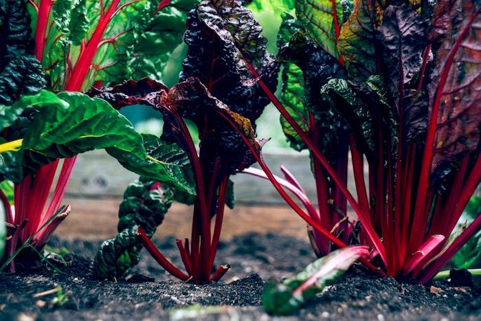 beetroot-vegetable-garden