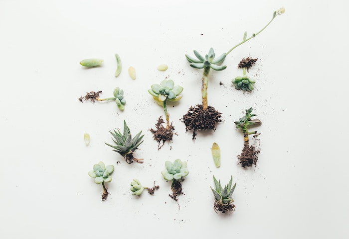 how-to-propagate-succulent