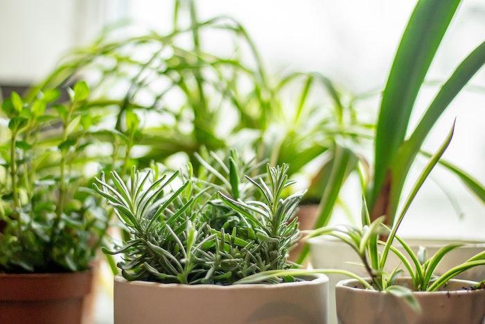 lavender-cutting-pot-plant