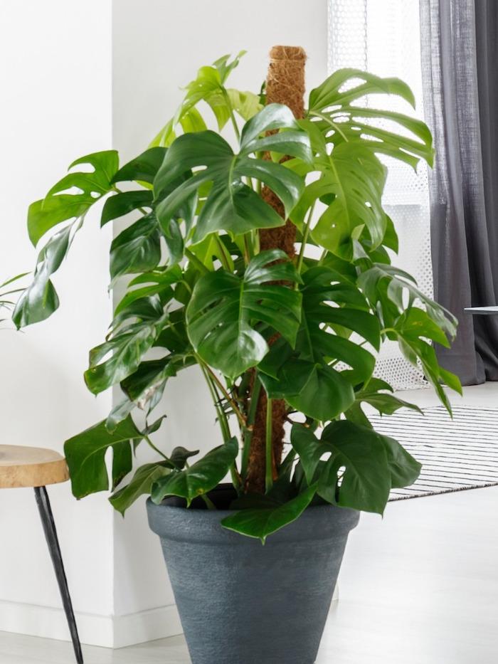 monstera-propagate-plants