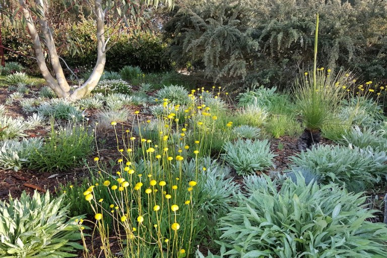 billy buttons in native garden