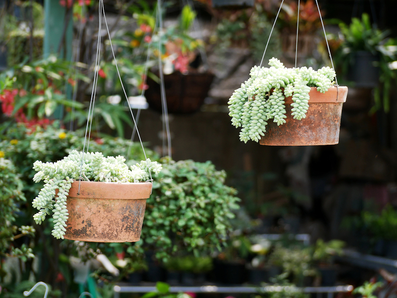 donkeys-tail-hanging-succulent-plant