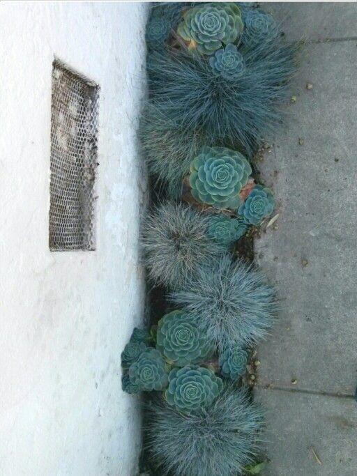 side yard succulents