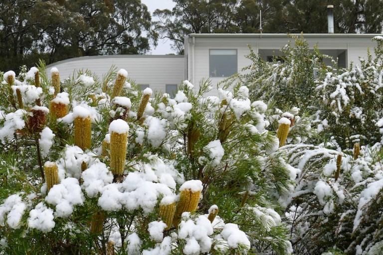 snowy banksia in native garden