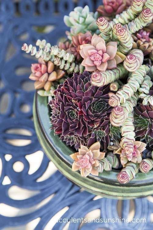 succulent pinks
