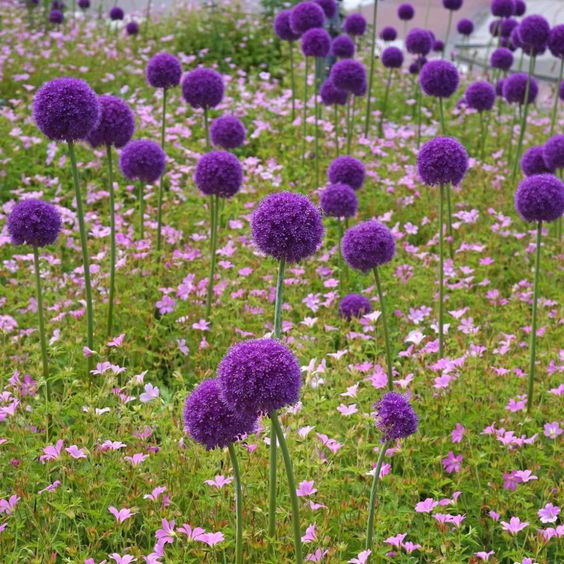 alliums garden flowers