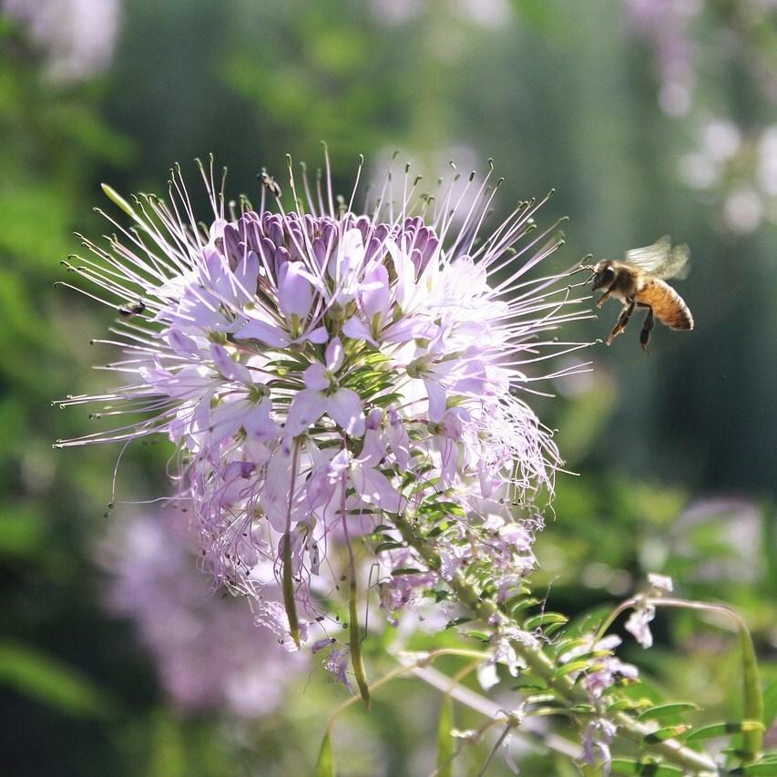 bergamot garden flowers