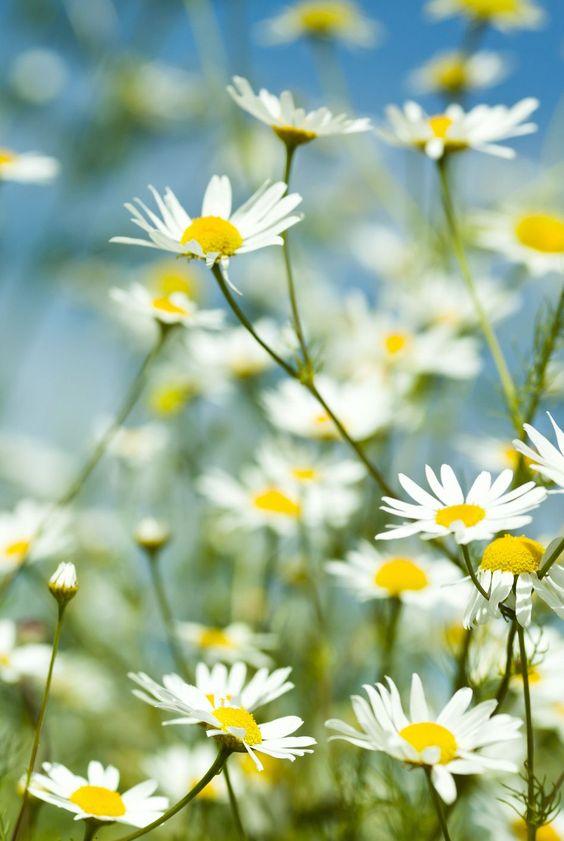 chamomile garden flowers