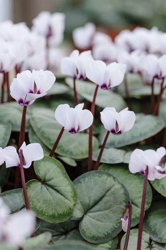 cyclamen garden flowers
