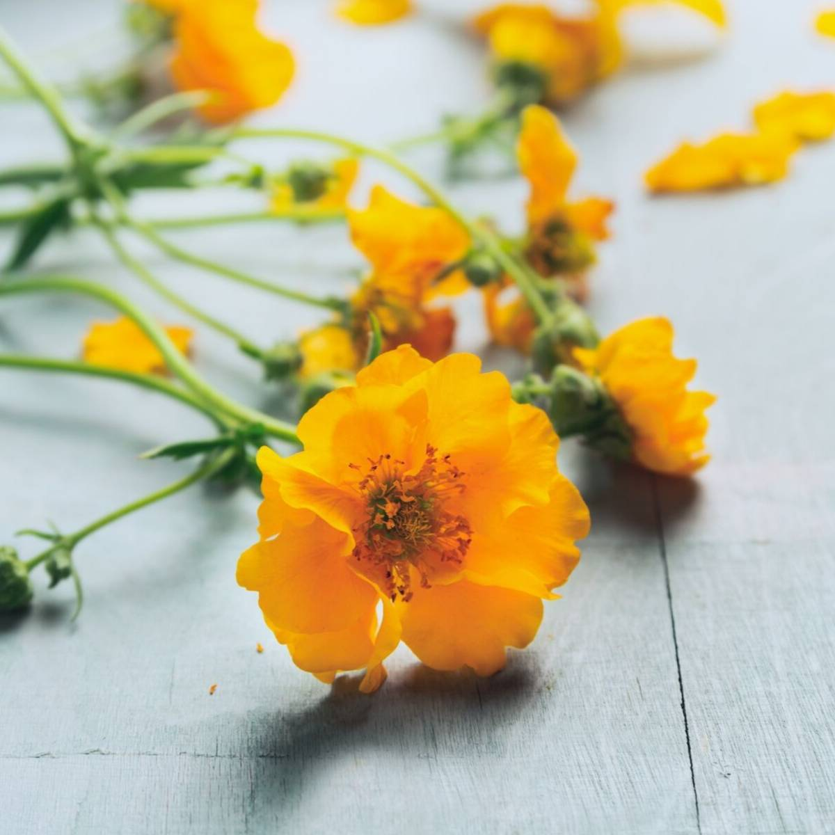 geum garden flowers