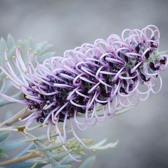 grevillea purple