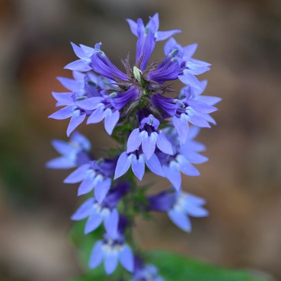 lobelia great blue