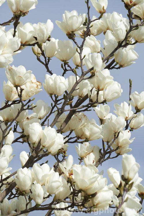 magnolia garden flowers