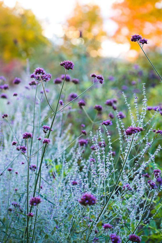verbena garden flowers