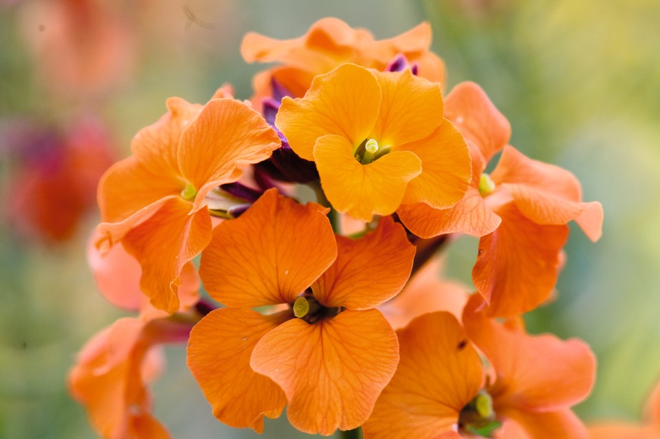 wallflowers apricot twist