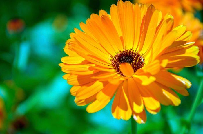 Calendula-garden-flowers