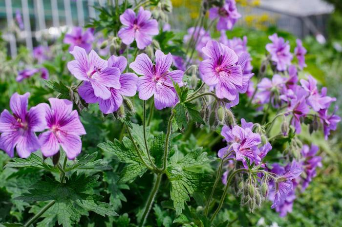 Geraniums-garden-flowers