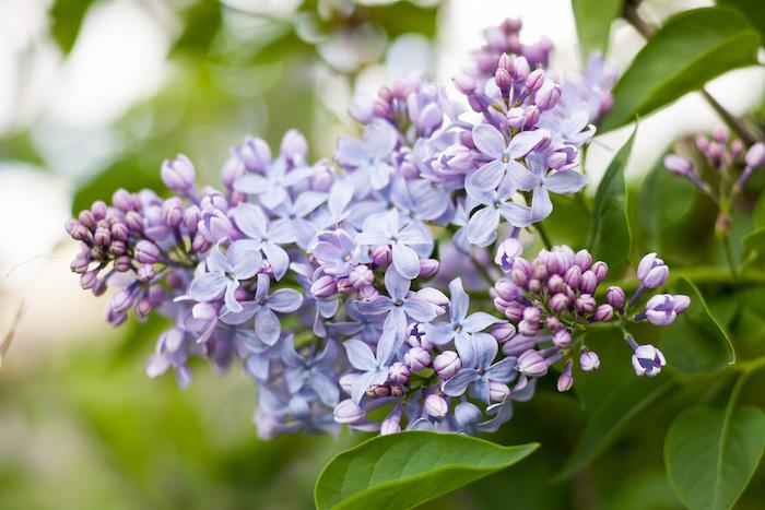 lilac-garden-flower