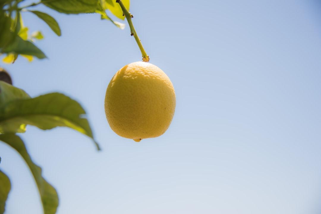 A solitary lemon