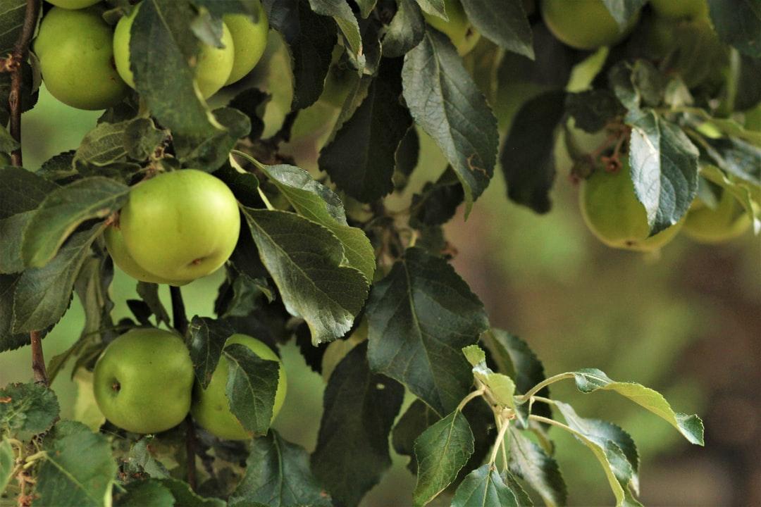 A green apple tree