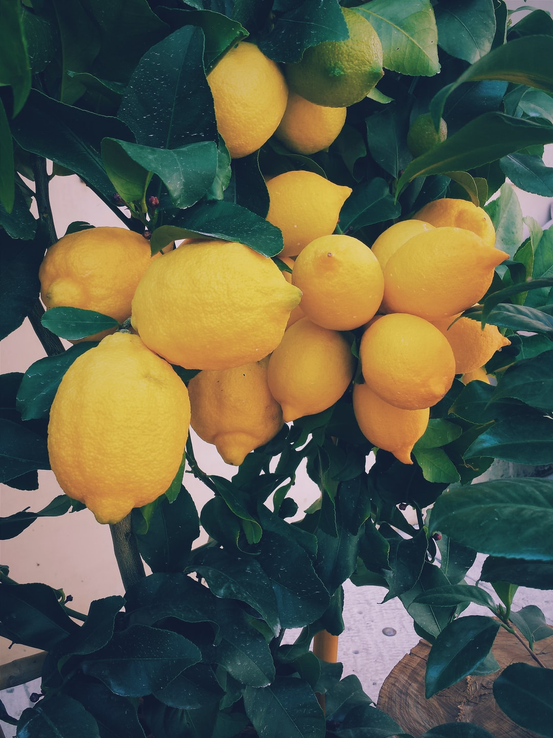 How to prune a lemon tree in your garden