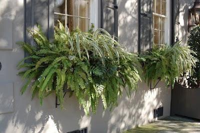 abundant ferns in window box