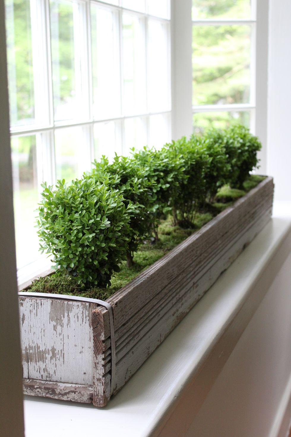 baby boxwoods in inside window box