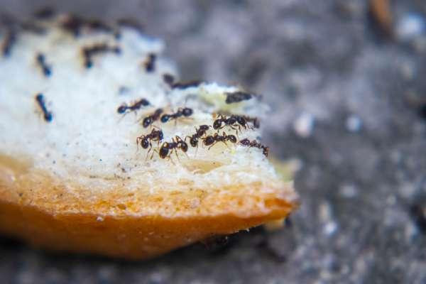 black ants on bread
