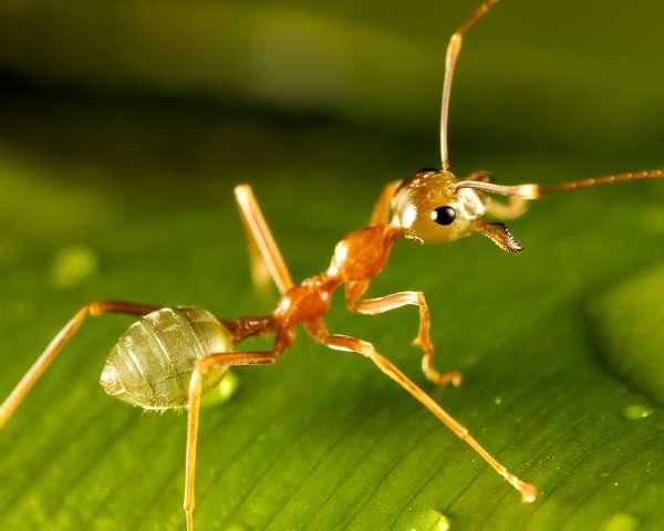 green ant on dewy green leaf
