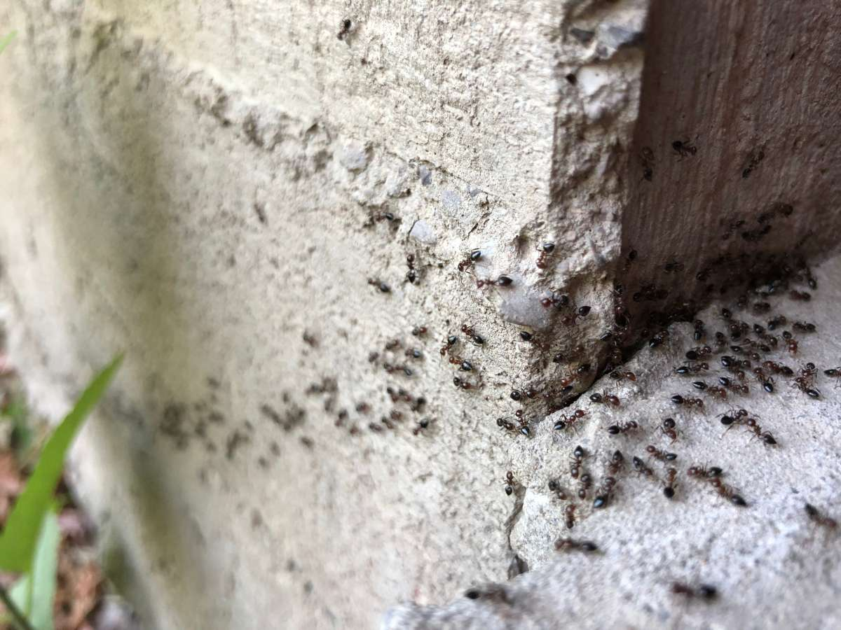 black ants colony at home